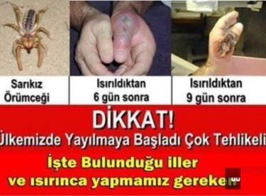 """Sarıkız örümceği """"ÜLKEMİZDE YAYILMAYA BAŞLADI ÇOK TEHLİKELİ! ÇOCUKLARINIZ VE ÇEVRENİZDEKİLERİ KESİNLİKLE UYARIN! """""""