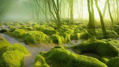 Korku filmlerinde kullanılan bu ormanlar aslında gerçekte var