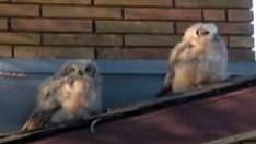 Baykuşun Arkadaşına Yaptığı Şaka Diğer Baykuşu Bakın Nasıl Şaşırttı