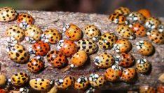 Normal Uğur Böcekleri Gibi Görünüyorlar – Gerçeği Öğrenince Çok Şaşıracaksınız
