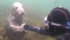 Dalgıç Fok Balığının Ne İstediğini Anlamadı – Fok Adamın Elini Tutunca Gerçeği Anladı