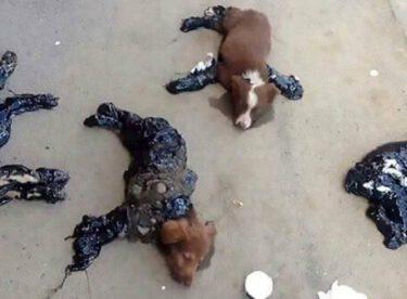 Caniler Sokak Köpeklerinin Üstüne Zift Döktüler – Hayvanseverler Köpeklerin Yardımına Böyle Koştu