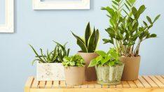 Yatak Odanıza Bu 4 Bitkiyi Koyarsanız Uykusuzluktan Ve Uyku Apnesinden Kurtulursunuz