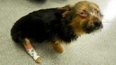 Caniler Önce Köpeğin Bacaklarını Kırdı Sonra Ateşe Verdi – Köpek Buna Rağmen İnsanlara Güveniyor