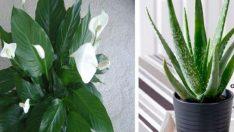 Karbondioksiti hüp diye içine Çeken! Havayı temizleyen 5 harika bitki