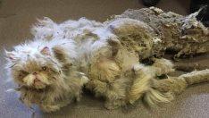 Bodrumda Bulunan Kedinin 2 Kiloluk Tüyleri Kesildikten Sonraki Hali Görenleri Şaşırttı