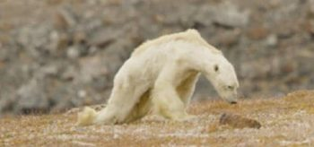 Ağlatan Görüntü: Açlıktan Ölen Kutup Ayısını İzleyince HEMEN Harekete Geçmezsek Çok Geç Olacağını Anlayacaksınız