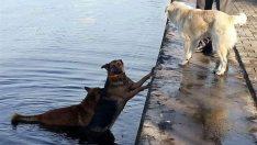 Denize düşen köpeği, peşinden atlayan köpek kurtardı!